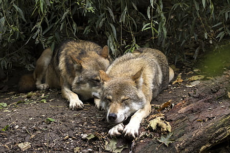 two brown wolves lying on brown