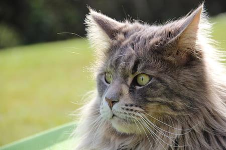 close-up photo of grey Persian cat