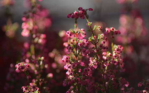 selective focus photography of pink erica flowers