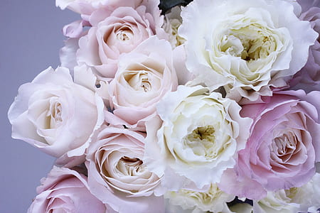 flower, flower roses, garden roses, pink, bloom, flora