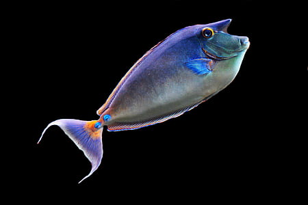 shallow photography of blue tang fish