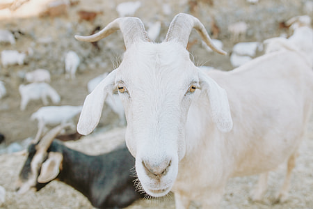 close up photography of white goat