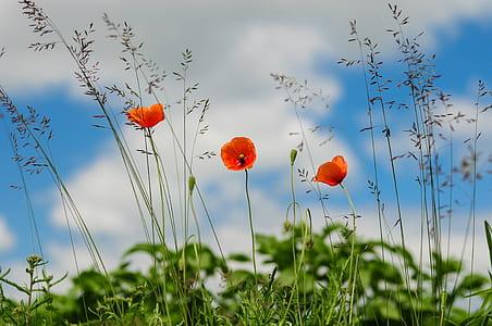 three orange poppy flower