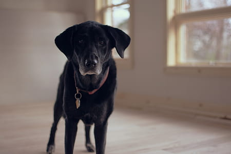 shallow focus photography of adult black Labrador retriever
