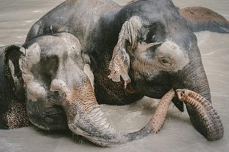 photo of two black elephants