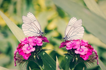 two white butterflies on pink flowers