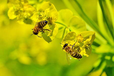 yellow orchid flower with two honeybees