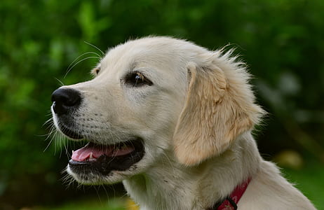 adult golden retriever closeup photography
