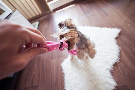Funny Playing With Yorkie Dog at Home #3
