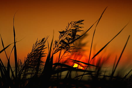silhouette of grass with golden hour background