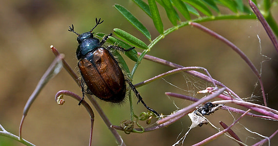 brown and black june beetle perched on green plant