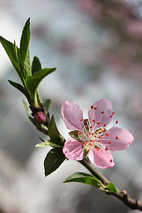 pink, flower, selective focus, photography, peach blossom, cherry blossom