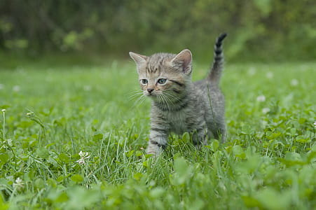 photo of brown tabby kitten walking on grass