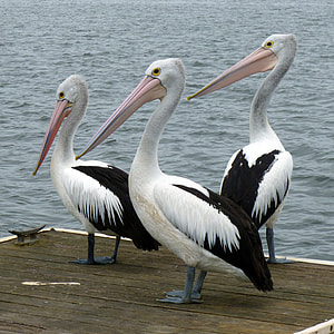 three American white pelicans