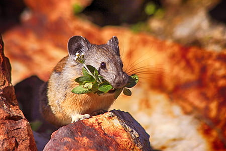 rodent with leaf in it's mouth during day