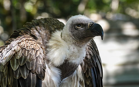gray and white vulture