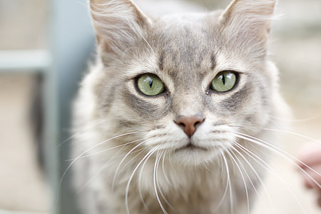 short-coated grey cat