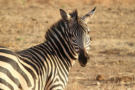 selective focus photo of zebra