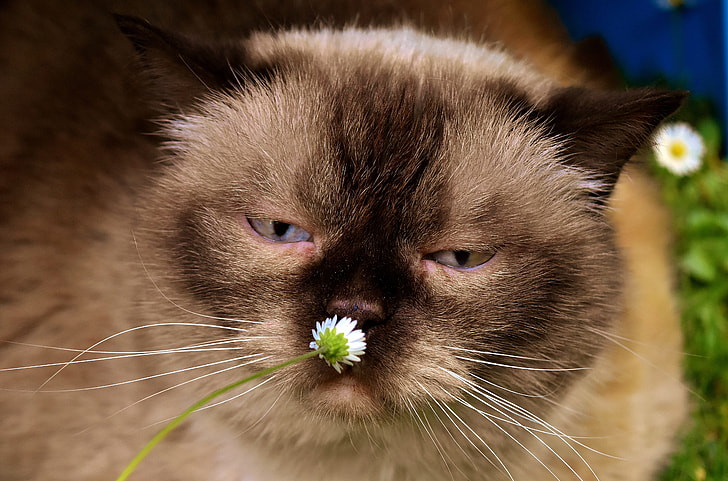 closeup photography of brown cat sniffing white daisy flower
