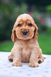 golden Retriever puppy sitting on white textile