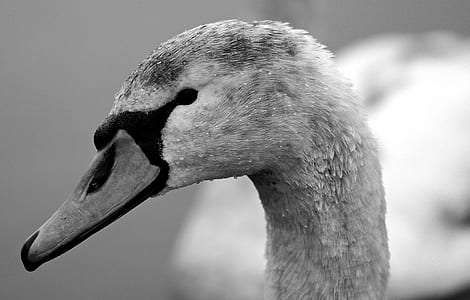 grayscale photo of duck