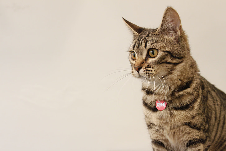 rule of thirds photo of gray Tabby cat