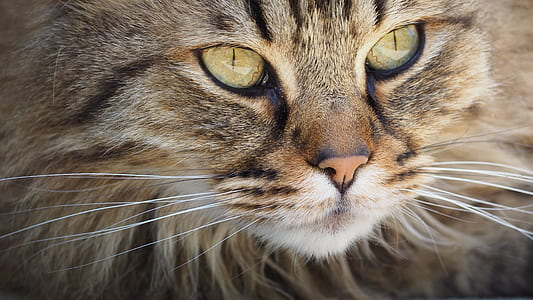 brown main coon in focus photography