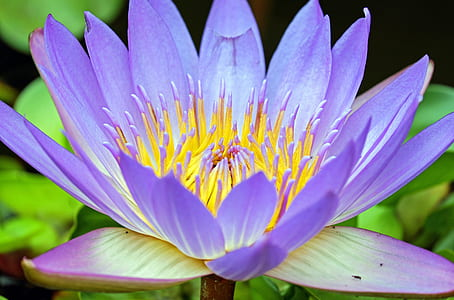 purple and yellow flower water lily flower in closeup photography