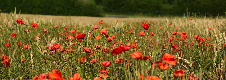 red petaled flower field