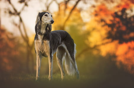 tilt shift photo of saluki dog
