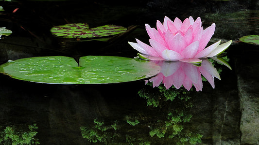 pink waterlily and lily pod above body of water