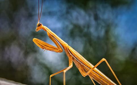 brown praying mantis in close-up photography