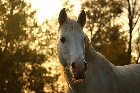 white horse standing during sunset