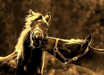 wildlife photography of two black horses
