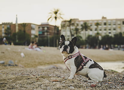 white and black French bulldog on beach sand photography during daytime