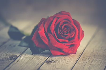 red rose on wood planks