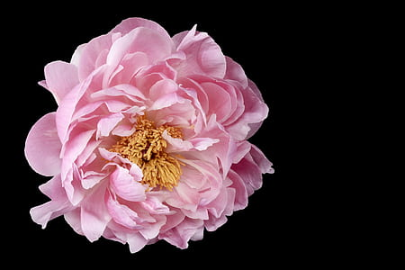 pink petaled flower with black background