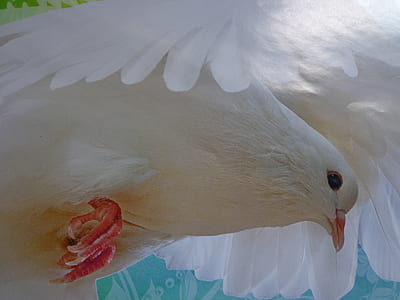 white dove photo