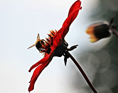 carpenter bee perching on red petaled flower in close-up photography