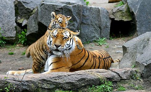 two brown-black-white tigers