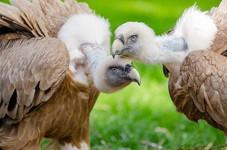 closeup photo of two white-and-brown vultures