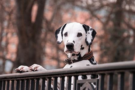adult Dalmatian leaning on rail