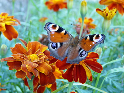 peocock butterfly perched on orange flower