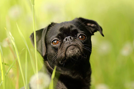adult black pug sits on grass field during daytime