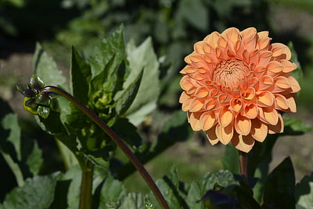 close-up photography of orange dahlia flower in bloom at daytime