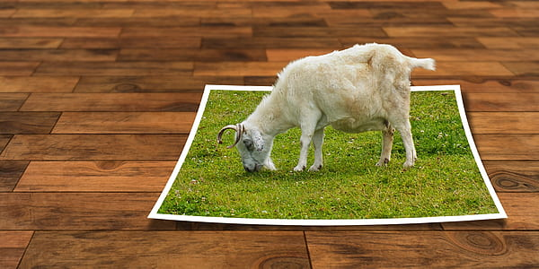 white goat eating grass illustration