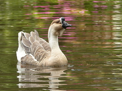 brown and white swan on body of water