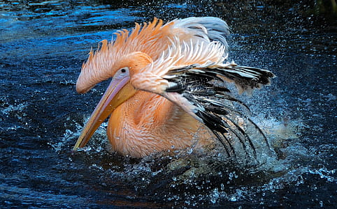 orange and black pelican on body of water