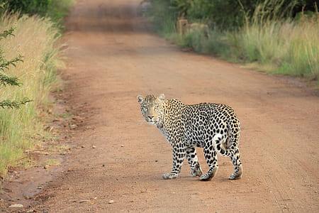 adult leopard