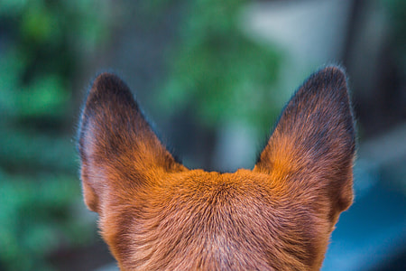 shallow focus of animal ears